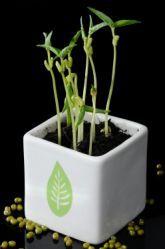 effect of caffeine on plant growth pdf