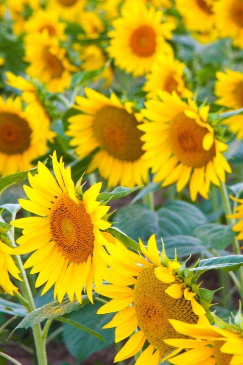 The Prettiest Sunflower Fields To Visit Across The U S In 2020 Sunflower Fields Sunflower Field Near Me Sunflower Season