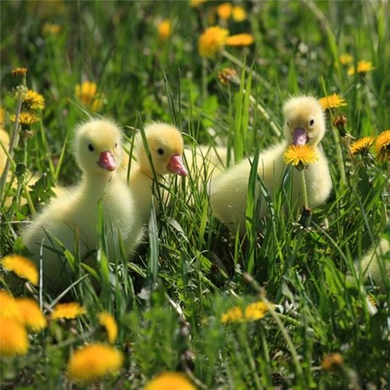 Ducklings by *Deathbypuddle on deviantART