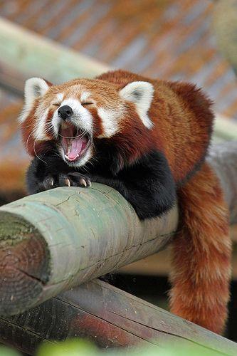 レッサーパンダおおきなあくびが可愛い姿