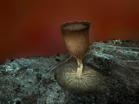 18  HONORABLE MENTION – Specimen: Sporangium of the slime mold Craterium minutum. Technique: Fluorescence. (Dr. Dalibor Matýsek/Mining University - Technical University of Ostrava/Ostrava, Czech Republic) #