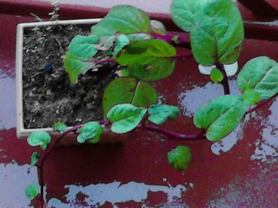 My #Patio grown #spinach variety