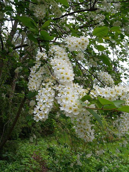 Pin By Aija Vesterinen On Fruhling White Flowering Trees Flowering Shade Plants White Flowers
