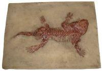Seymouria, amphibian skeleton
