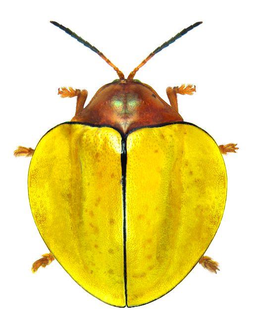 Omaspides trichroa