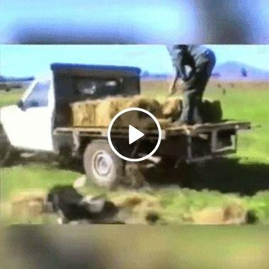 Cachorro espalha feno pelo pasto para as vacas comerem.
