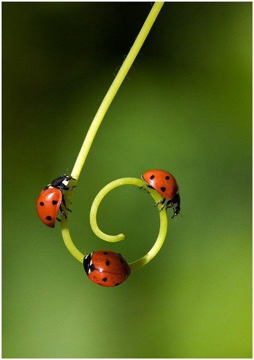 Ladybug, ladybug, ladybug on a tendril:
