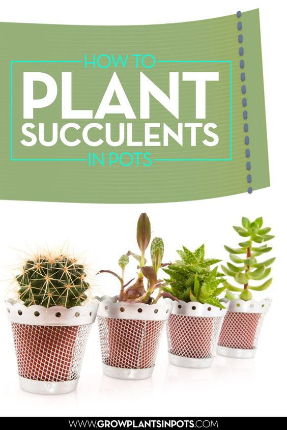 Grow Succulents In Pots