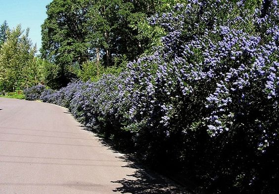 """""""If you're fond of honeybees and bumbles and hummingbirds or if true blue is your favorite color, consider adding a Blueblossom (Ceanothus thyrsiflorus) to your landscape."""" from: The Wild Garden: Hansen's Northwest Native Plant Database"""