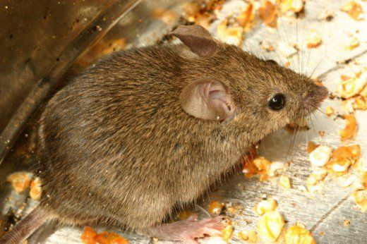 How To Get Rid Of A Mouse In Your House Mice Repellent Mice Control Mice Infestation