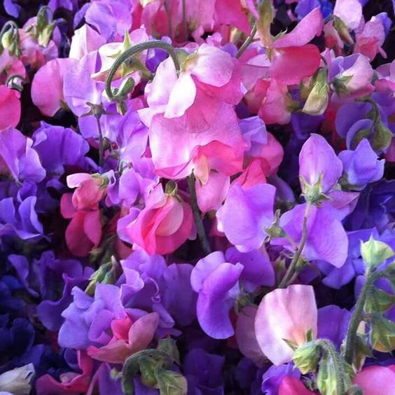 Do you like the look and smell of sweet peas? Sweet pea (Lathyrus odoratus) is a flowering plant in the genus Lathyrus in the family Fabaceae (legumes), native to Sicily, southern Italy and the Aegean Islands. It is an annual climbing plant. (Wikipedia)