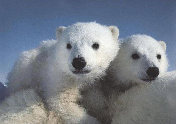 Polar Bears : Polar Bear Cubs Riding Moms Back.