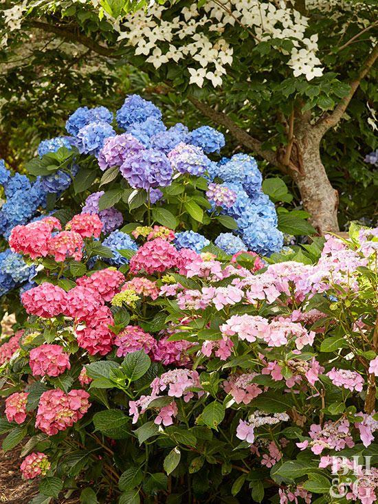 Vanilla Strawberry Hydrangeas Are What We Re Planting This Fall Hydrangea Care Growing Hydrangeas Hydrangea Shrub