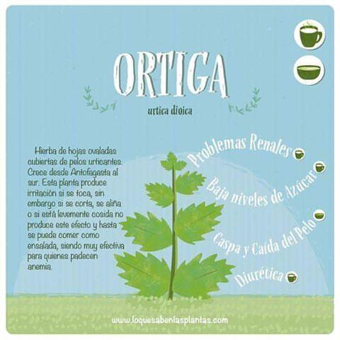 La #ortiga muchas veces se considera maleza y es arrancada, sin embargo posee muchas propiedades. Conócelas! #hierbasmedicinales #plantasmedicinales #plantas #ilustracion