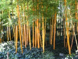 Bambous aux chaumes colorés