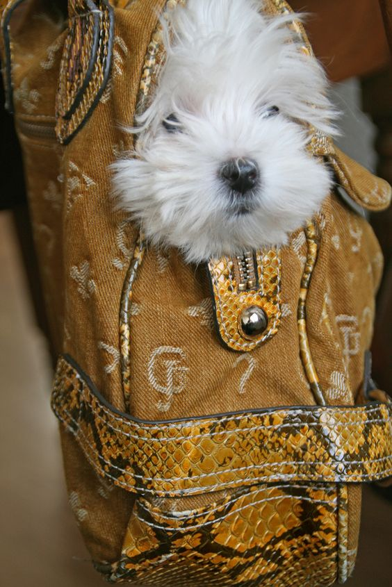 Cute Little Handbag Maltese Puppy:
