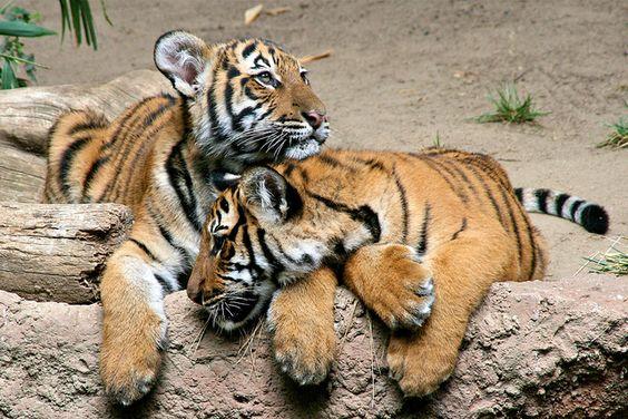 Tiger cubs Christopher & Connor #animal #tiger