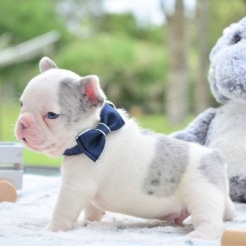 Poetic Frenchies French Bulldogs For Sale In Florida Yelp French Bulldog Inc French Bulldog Puppi French Bulldog Puppies Bulldog Puppies Cute Dogs And Puppies