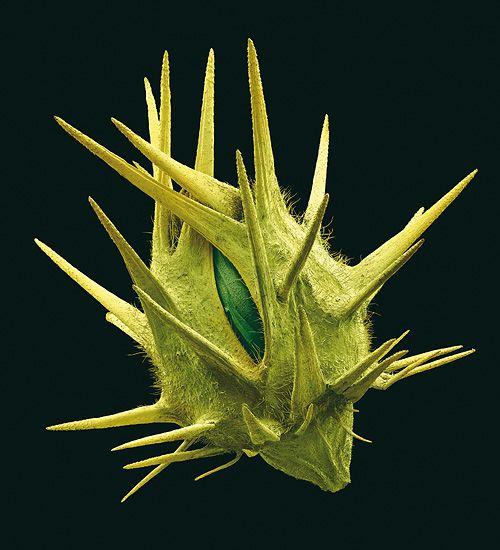 """Die abstehenden Fruchtborsten des Stachelgrases (Cenchrus spinifex) verraten dessen bevorzugte Reiseart: per Anhalter im Fell oder Gefieder eines Transporters. Botaniker nennen diese Verbreitungsstrategie """"Epizoochorie"""" (Foto von: Rob Kesseler )"""