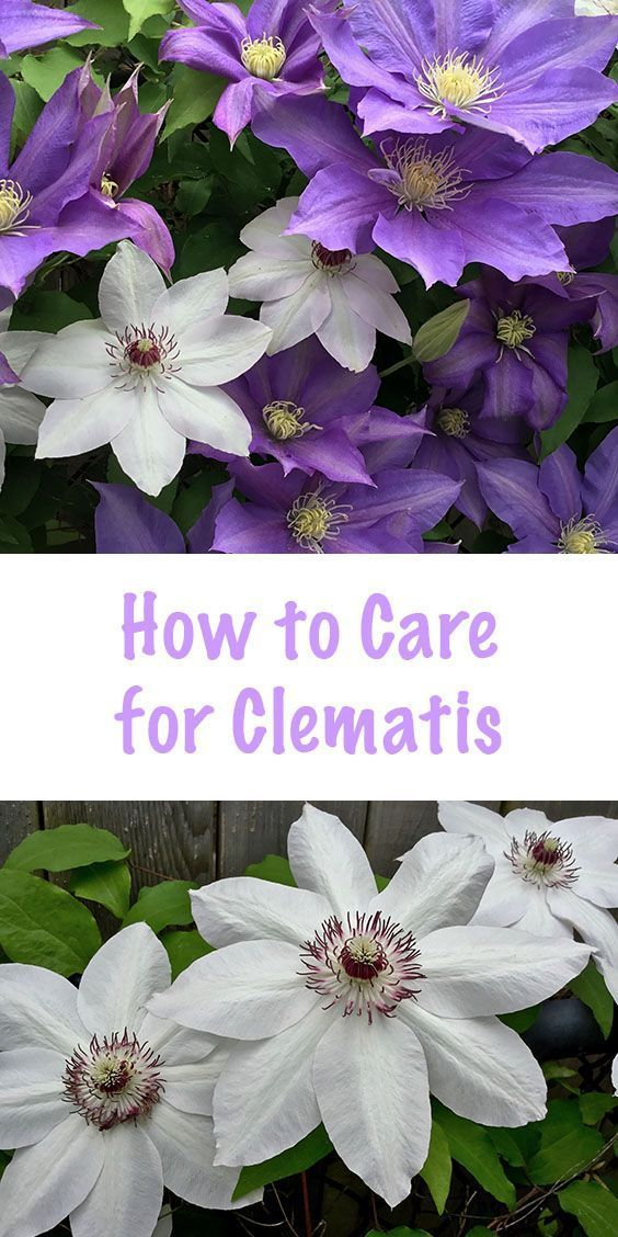 How To Care For Clematis Goodstuffathome Clematis Plants Clematis Flowering Vines