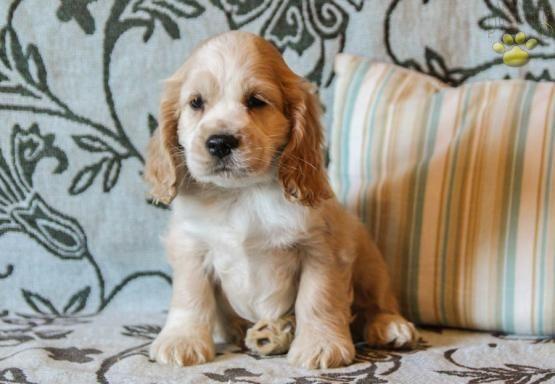 Hershey Cocker Spaniel Puppy For Sale In Mifflinburg Pa