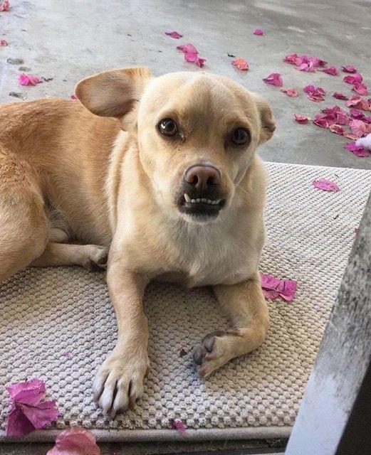 Labrahuahua Labrador Chihuahua Mix Dog Crossbreeds