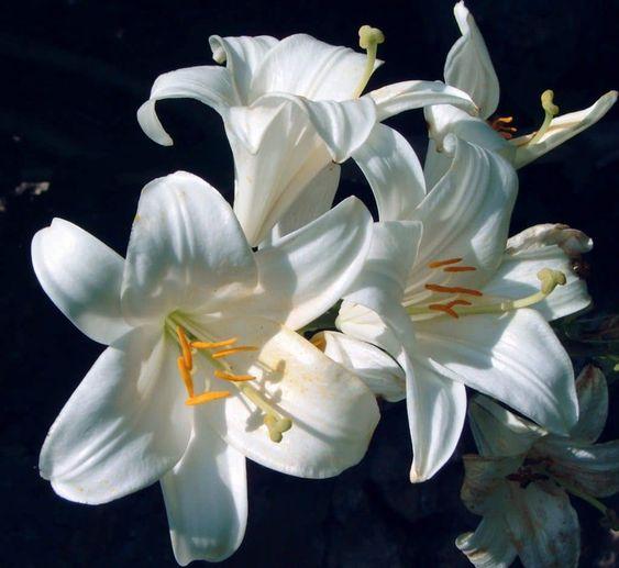azucenas blancas sol