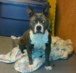 Blue is an adoptable American Staffordshire Terrier Dog in Quakertown, PA. 7 month old blue male pup that needs to be rehomed. Family has severe allergies. Playful to dogs he is socialized wtih, but d...