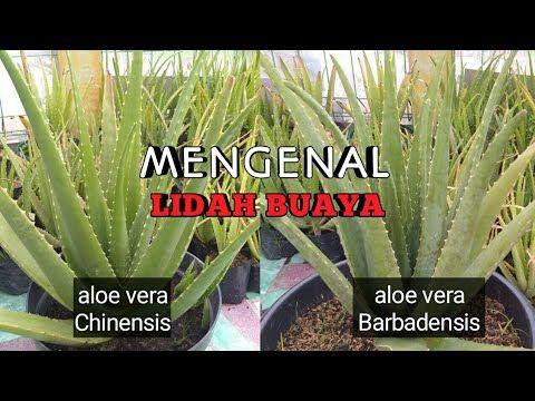 Jarang Yang Tau L Mengenal Lidah Buaya Chinensis Dan Barbadensis L Aloe Vera Barbadensis Yuktani Youtube Tanaman Aloe Vera Ide Berkebun