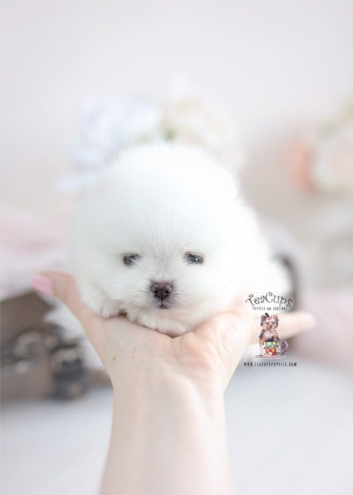 Toy Teacup Puppies For Sale Teacuppomeranianpuppy Teacup