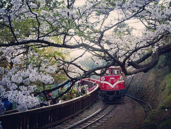 Taiwan S Beautiful Alishan Cherry Blossom Cherryblossom Sakura Train Alishan Taiwan Cherry Blossom Amazing Nature Around The Worlds