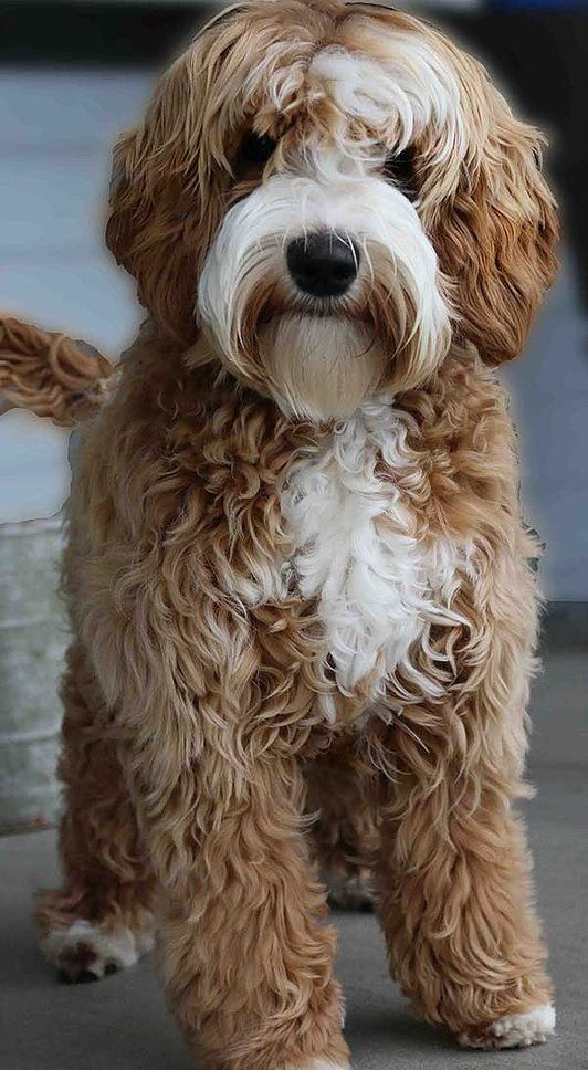 Dog Charming Photo With Images Labradoodle Puppy Australian Labradoodle Puppies Australian Labradoodle