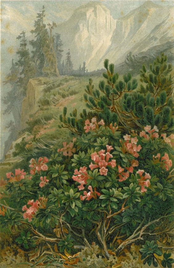 Roses from the Alps Tyrol 1892 Antique Lithograph by carambas, $20.00