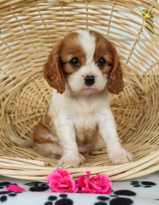 Teacup Cavalier King Charles Spaniel Puppies For Sale In Ohio : teacup, cavalier, charles, spaniel, puppies, Jasper, Cavalier, Charles, Spaniel, Puppy, Mifflinburg,, PA…, Puppies, Sale,