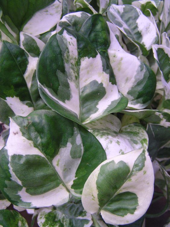 Here's another decorative Pothos - 'Pearls & Jade' - for indoor use in planters, pots or hanging baskets.