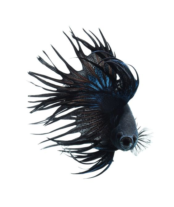 """BLACK BETTA FISH "" by visarute angkatavanich, via 500px."