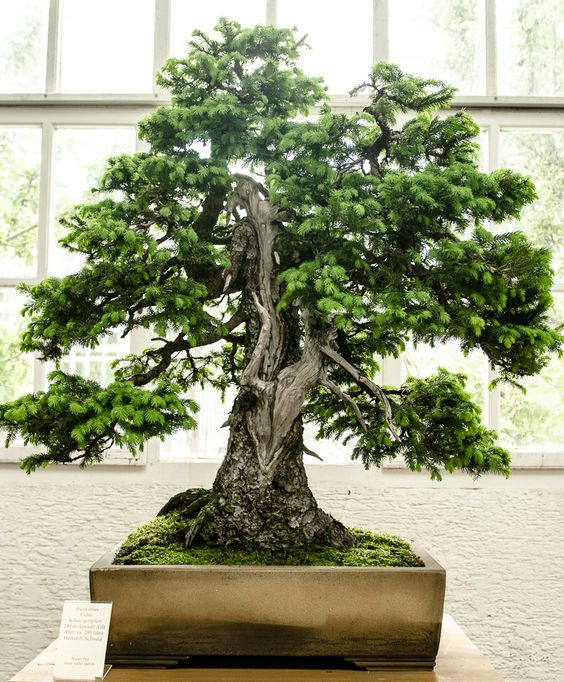 200 jahre alte fichte - picea abies als bonsai-baum | bonsai, Best garten ideen