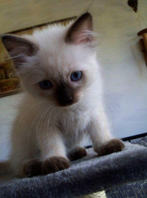No Go On I M Listening Siamese Kittens Pretty Cats Kittens