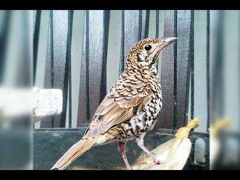 Pin Di Macam2 Suara Burung