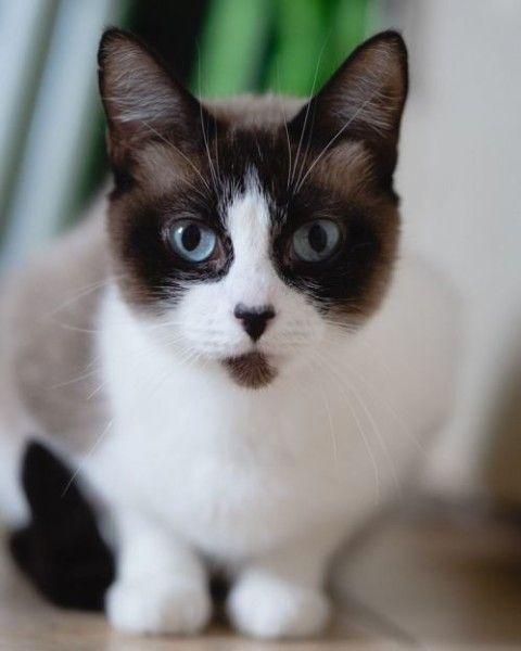 Siamese Cat For Adoption In Wilsonville Oregon Sasha In