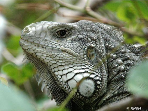 Reptiles | Réserve Nationale Naturelle de Saint-Martin
