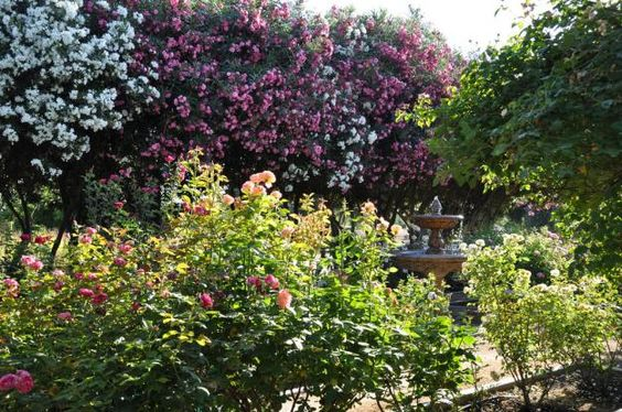 This magnificent rose garden was created on the site of a family olive grove, which has been owned by the same family for half a century. Located in the San Joaquin Valley, this olive grove was originally developed by the railroads, before recently being transformed into