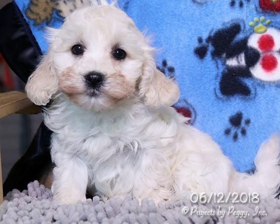 Lionel Cavapoo Puppy For Sale In Millmont Pa Lancaster Puppies Cavapoo Puppies Puppies For Sale Cavapoo Puppies For Sale