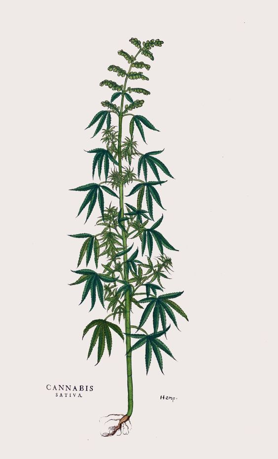 antique botanical print cannabis illustration digital download