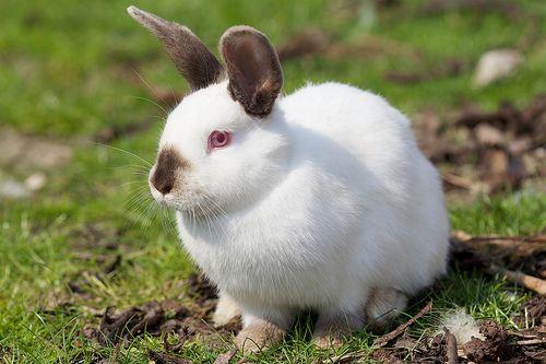 Beautiful Californian Rabbit