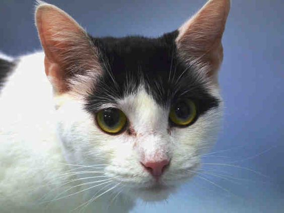 PRINCESS - A1047214 - - KILLED in Manhattan Two sisters, one night, zero time left–PRINCESS and PEPPER need a New Hope rescue to pull them to safety straightaway! These gorgeous siblings were happily living with young children and sleeping in their former owner's bed, but all of that changed on August 8th. These girls were brought to the shelter and abandoned to find their way back out again, but since they are utterly TERRIFIED in their new