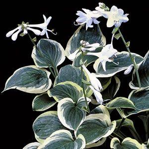 Hosta 'Diana Remembered' is a variegated cultivar of the fragrant hosta species plantaginea.