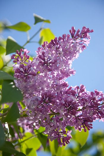 lilacs  - poor old lilacs, 8 years in the ground and last spRing was the first flowers. It is hard work in my land!