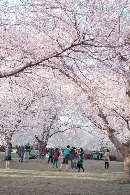 Kenwood Cherry Blossoms Experience Peak Bloom Without The Crowds Places To See Beautiful Places To Travel Magical Places