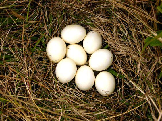 White-faced whistling duck eggs
